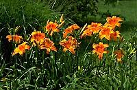 growing daylilies yard and garden garden of