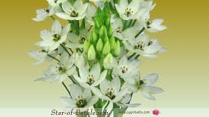 of bethlehem flower timelapse of opening of bethlehem flower