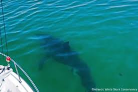 summer u0027s first great white shark spotted off cape cod boston herald