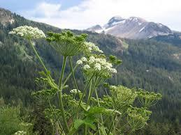 native alaskan plants heracleum maximum wikipedia