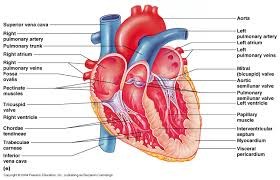 Heart Anatomy Arteries Arteries Of The Body Labeled Human Anatomy Chart