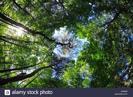 looking up through trees to bright blue sky stock photo royalty