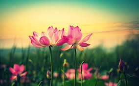 lotus flower in blooming at sunset wallpapers 2560x1600 569390