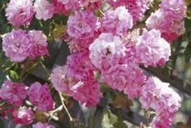 roses china how to cut back a weeping china doll tree home guides sf gate