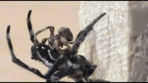Sexual Intercourse Gif - female darwin spiders 14 times larger than males force mates to