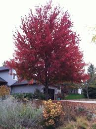 trees shrubs fall color minnesota