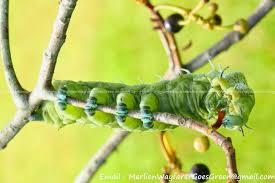 how many legs does a caterpillar merlion wayfarer goes green