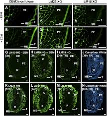 distinct cell wall architectures in seed endosperms in