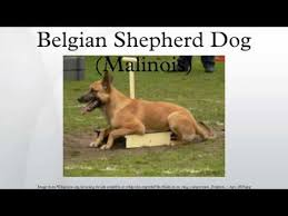 belgian shepherd or malinois belgian shepherd dog malinois youtube