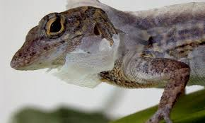 Seeking Lizard Cast Problem Solving Lizards Can Be A Clever As Mammals Daily Mail
