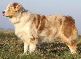 lifespan of australian shepherd australian shepherd faq frequently asked questions