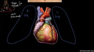 Anatomy Of The Heart Lab Layers Of The Heart Video Khan Academy