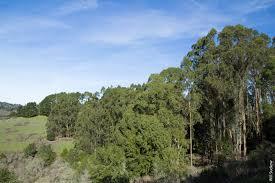 management of blue gum eucalyptus in california requires region