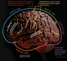 Which Part Of The Brain Consists Of Two Hemispheres Time Brain Jpeg