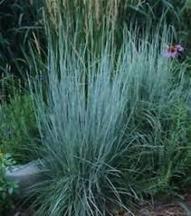 schizachyrium scoparium bluestem ornamental grass plant