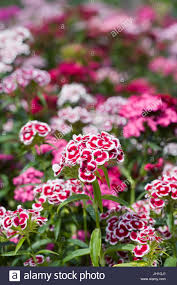 sweet william flowers dianthus barbatus sweet william flowers in stock photo