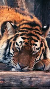 best 25 sleeping tiger ideas on pinterest