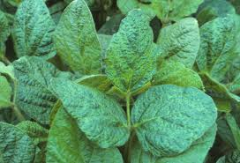 Symptoms Of Viral Diseases In Plants - virus look a like symptoms in soybean u2013 wisconsin field crops
