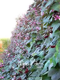 100 quick growing flowering vines 10 fast climbing vines