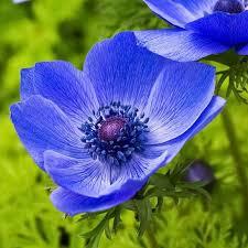 anemone plant anemone blue poppy bulbs anemone with black center anemone