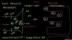 neuromuscular junction motor end plate video khan academy