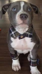 american pitbull terrier puppies louisiana wedding idea duke pinterest weddings