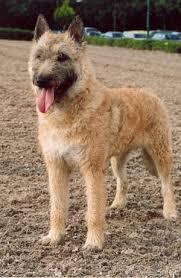 belgian sheepdog alberta belgian laekenois
