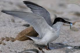 her world the travel blog damara tern one of the many birds