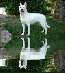 belgian shepherd short hair white german shepherd 1 best family dog and smart dogs