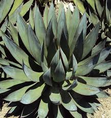 Succulent Plant Identification What Is This Succulent Plant With Pointed Leaves