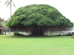 picture of the day banyan tree twistedsifter