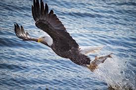 online get cheap bald eagle birds aliexpress com alibaba group