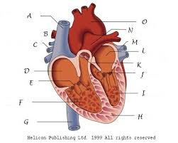 Human Anatomy Exam Questions Interesting All Parts About Hearts Proprofs Quiz