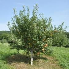 heirloom fruit trees from stark bro s heirloom fruit trees for sale