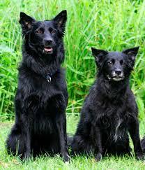 belgian sheepdog puppies for sale croatian sheepdog photo croatian sheepdog breeders puppies for