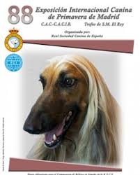 afghan hound de 1 mes criadores yorkshire galicia