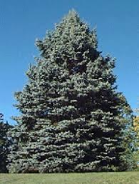 blue spruce blue spruce notes