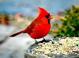 what are the cardinal bird u0027s adaptations that help it to survive