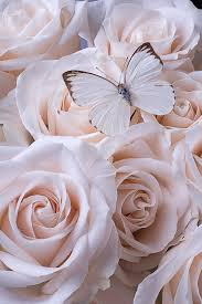 white butterfly on white roses photograph by garry