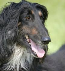 afghan hound hairstyles afghan hound for more photos visit dogsarena com dog breeds