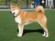 What Breed Is Doge Meme - shiba inu wikipedia