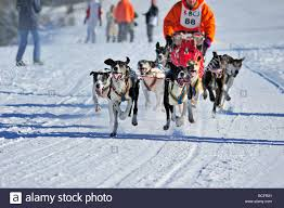 sled dogs eager to pull excited sled dogs bark and nip at each