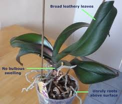 What Is An Orchid Flower - expert guide to orchid care for the amateur phalaenopsis