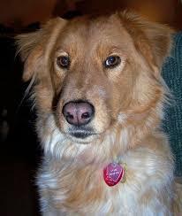 australian shepherd or golden retriever sadie the golden retriever mix dogs daily puppy