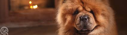 how to groom a belgian sheepdog 4 ways to identify dog coat types qc pet studies