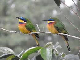 bee eater merops lafresnayii birds in a tree the