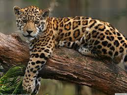 leopard animals free desktop wallpaper picture 39