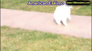 american eskimo dog puppies near me american eskimo dog breeders near me italian greyhound dog