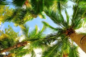 palm trees on blue sky and white clouds stock photo picture and
