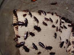 cafards cuisine comment larve de cafard comment se débarrasser des cafards larves